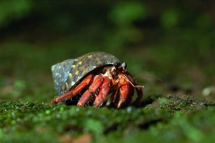 Can Hermit Crabs Live on Land?