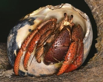 Coenobita clypeatus
