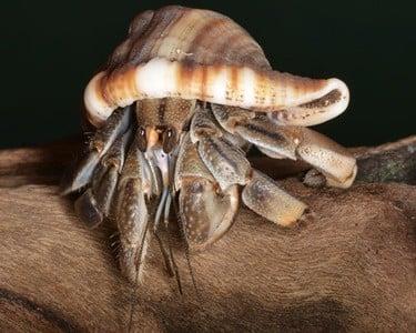Coenobita compressus