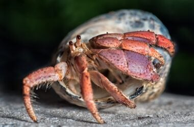 Why do hermit crabs lose legs?