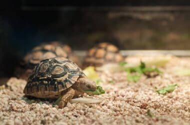 can hermit crabs and turtles live together?