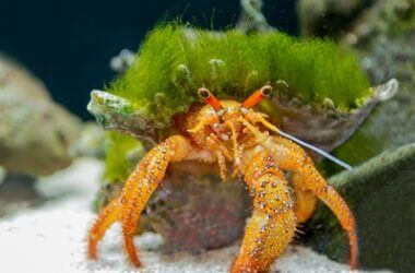 can hermit crabs breathe underwater?