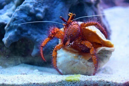 can hermit crabs drown?