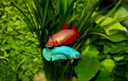 can hermit crabs live with betta fish?