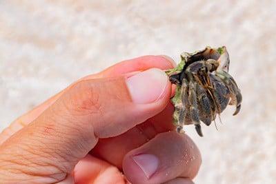 can hermit crabs pinch humans?