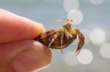 can hermit crabs regenerate eyes?