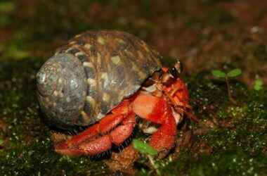 can hermit crabs survive on land?