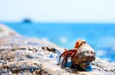 can hermit crabs swim?