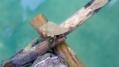 do hermit crabs eat wood?
