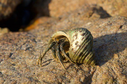 do hermit crabs have an odor?