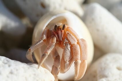 do hermit crabs hurt when they pinch you?