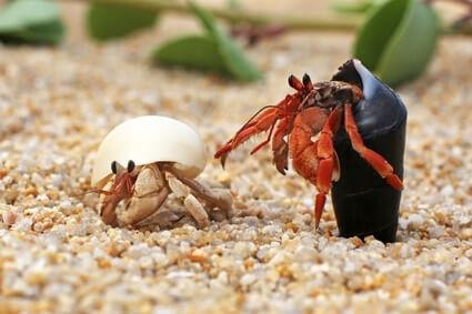 do hermit crabs like to swim?