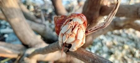 driftwood for hermit crabs