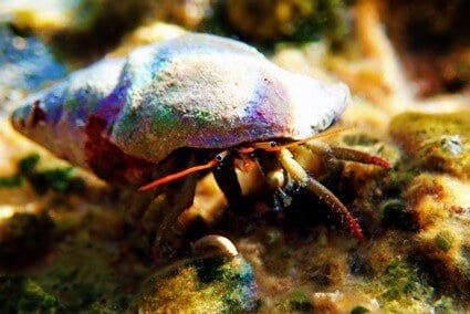 hermit crab blowing bubbles