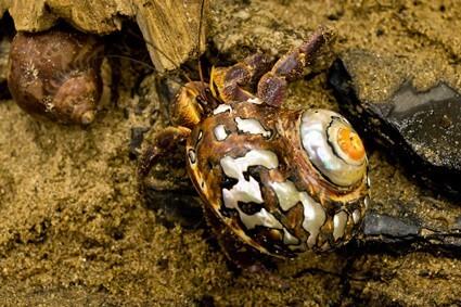 hermit crab breeding process