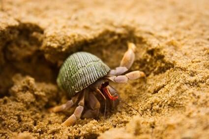 hermit crab digging behavior