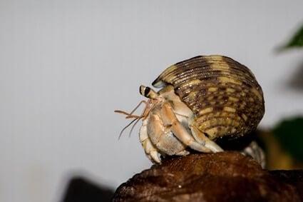 hermit crab eye anatomy