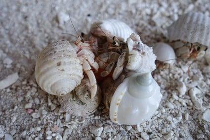 hermit crab fighting behavior