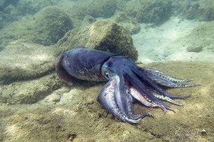 hermit crab natural predators