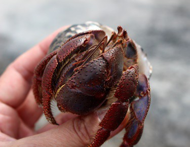 hermit crab pinching and won't let go