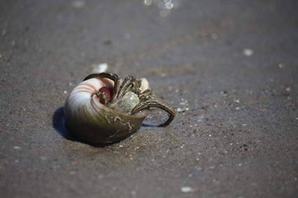 hermit crab upside down in shell