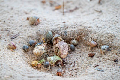 hermit crabs aggressive towards each other