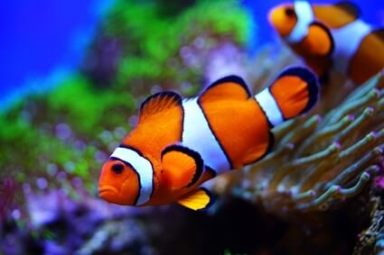 hermit crabs and clownfish
