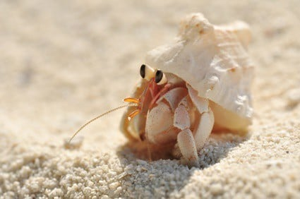 hermit crabs from the beach as pets