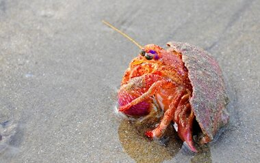 how does a hermit crab move?