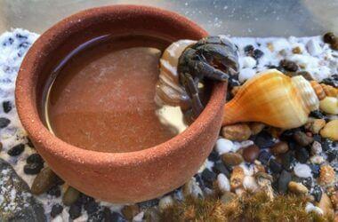 how hermit crabs drink water