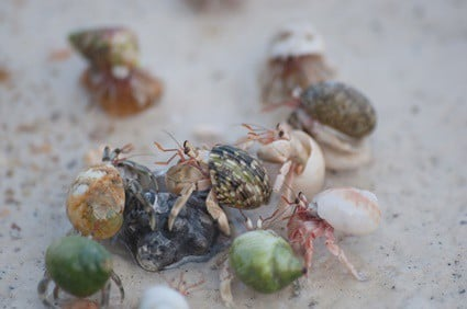 how long can a hermit crab live without food?