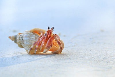 how long can a hermit crab live without water?