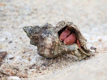 how often do hermit crabs molt?