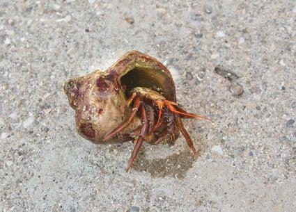 how often do hermit crabs poop?