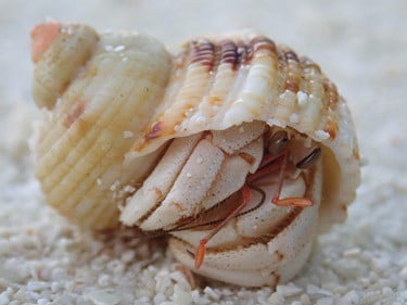 how to get a shy hermit crab to come out