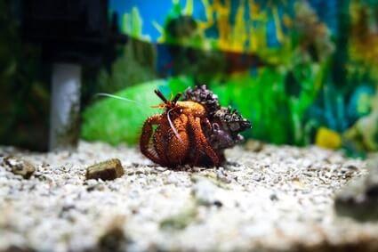 how to get mites off hermit crabs