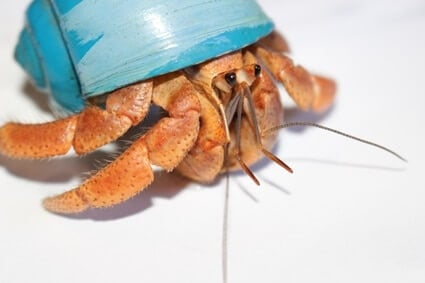 how to tell if a hermit crab is too big for its shell