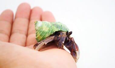 how to treat mites on hermit crabs