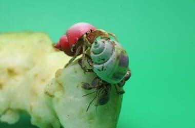 introducing hermit crabs to new ones