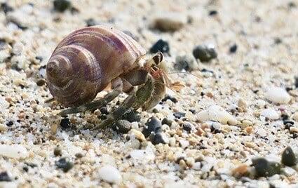 new hermit crab buried itself
