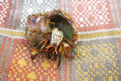what do hermit crabs use their antennae for?