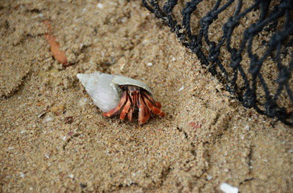 what does it mean when hermit crabs chirp?