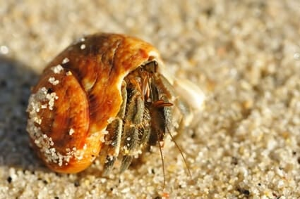 what does it mean when your hermit crab won't come out of its shell?