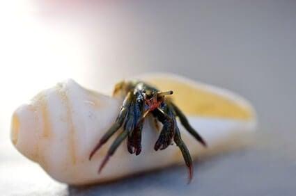 what happens when a hermit crab dies?