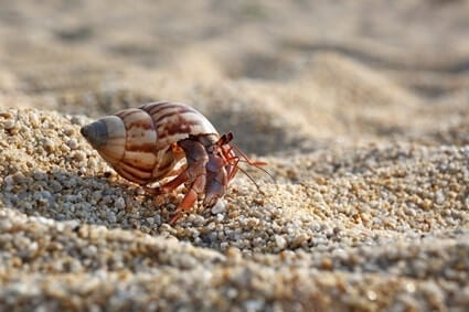 why do hermit crabs legs fall off?