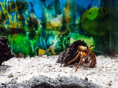 why is my hermit crab bubbling?