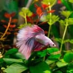 Can Hermit Crabs Live with Betta Fish
