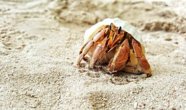 can a hermit crab live without a shell?