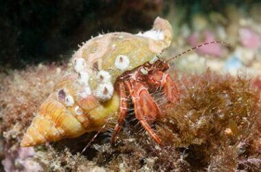 do hermit crabs have ears?