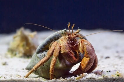 hermit crab shell size chart